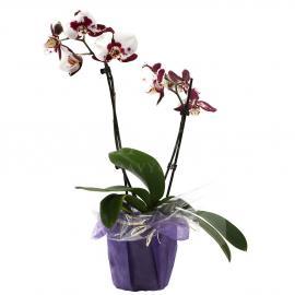 Fľakatá viacstonková orchidea