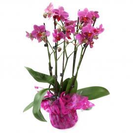 Magentová viacstonková orchidea