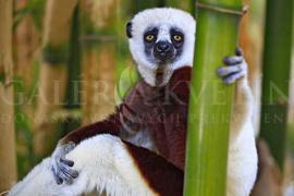 Coquerels Sifaka Lemur, Madagascar