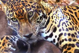 Jaguar, Costa Rica