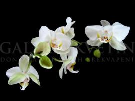 ORCHID BW 01