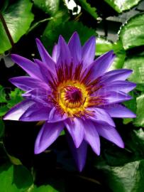 WATER LILY 02