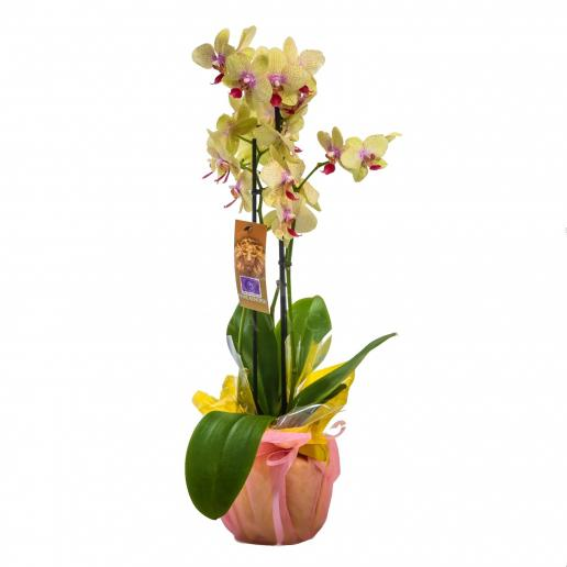 Orchidea - Žltá