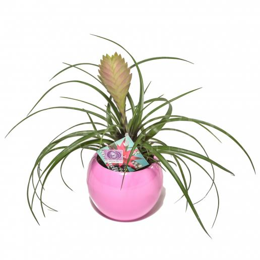 Bromélia pink