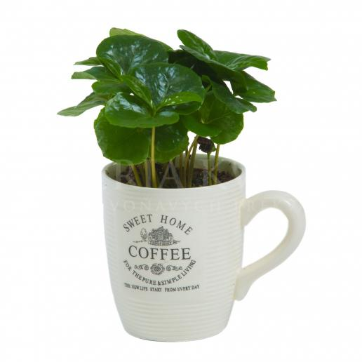 Kávovník - Coffee
