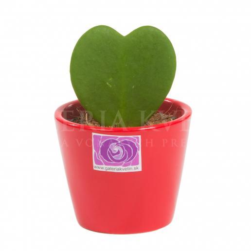 Hoya v tvare srdca