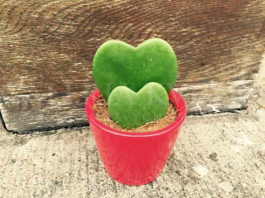 Hoya - Červená dualita lásky