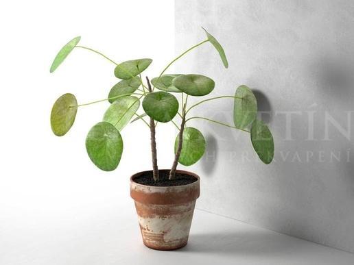 Pilea si získala srdcia mnohých milovníkov rastlín a častokrát je menovaná aj kráľovnou bytových rastlín.   HISTÓRIA Pilea peperomioides pochádza z Čínskej provincie Yunnan a prvý raz bola objavená škótskym botanikom G. Forrestom na začiatku 20. storočia.