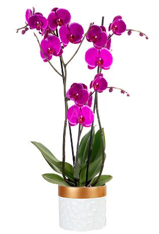 Orchidea - Magenta